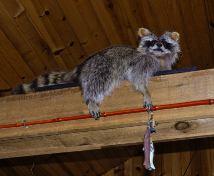 Cabin #1 Raccoon